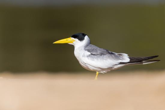 Brazil, Mato Grosso, the Pantanal, Large-Billed Tern on the Beach-Ellen Goff-Photographic Print
