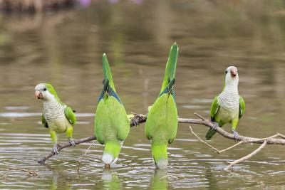 Brazil, Mato Grosso, the Pantanal. Monk Parakeets on a Branch and Drinking-Ellen Goff-Photographic Print