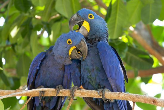 Brazil, Mato Grosso, the Pantanal. Pair of Hyacinth Macaws Cuddling-Ellen Goff-Photographic Print