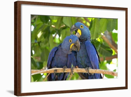 Brazil, Mato Grosso, the Pantanal. Pair of Hyacinth Macaws Cuddling-Ellen Goff-Framed Photographic Print