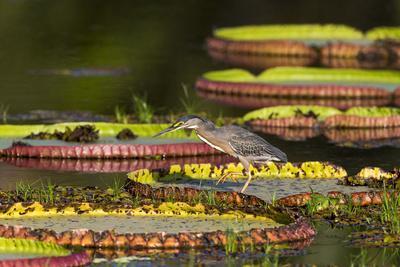 https://imgc.artprintimages.com/img/print/brazil-mato-grosso-the-pantanal-porto-jofre-striated-heron-on-giant-lily-pads_u-l-q13b72a0.jpg?p=0
