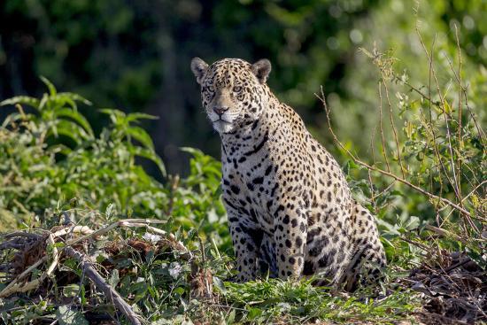 Brazil, Mato Grosso, the Pantanal, Rio Cuiaba. Jaguar on the Bank of the Cuiaba River-Ellen Goff-Photographic Print