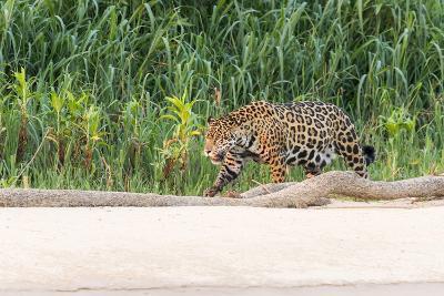 Brazil, Mato Grosso, the Pantanal, Rio Cuiaba, Jaguar-Ellen Goff-Photographic Print