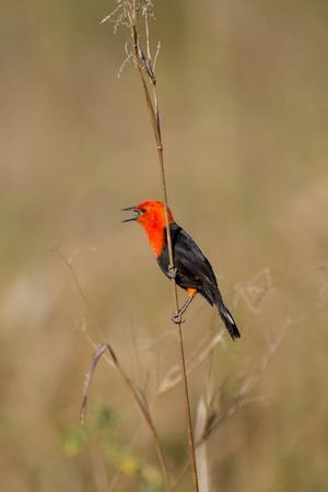 https://imgc.artprintimages.com/img/print/brazil-mato-grosso-the-pantanal-scarlet-headed-blackbird-singing_u-l-q13c42k0.jpg?p=0