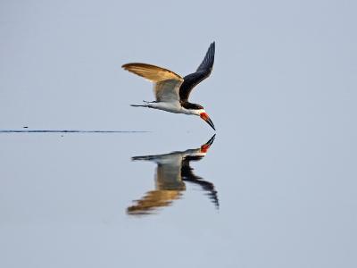 Brazil, Pantanal, Mato Grosso Do Sul. a Black Skimmer Flies Low over the Rio Negro River.-Nigel Pavitt-Photographic Print