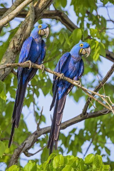 Brazil, Pantanal, Mato Grosso Do Sul. a Pair of Hyacinth Macaws.-Nigel Pavitt-Photographic Print