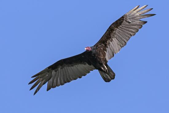 Brazil, Pantanal, Mato Grosso Do Sul. a Turkey Vulture in Flight.-Nigel Pavitt-Photographic Print