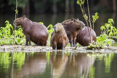 Brazil, Pantanal, Mato Grosso Do Sul. Capybaras on a Sandbank in the Middle of the Pixaim River.-Nigel Pavitt-Photographic Print