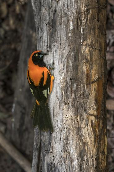 Brazil, Pantanal. Orange-backed Troupial on tree.-Jaynes Gallery-Premium Photographic Print
