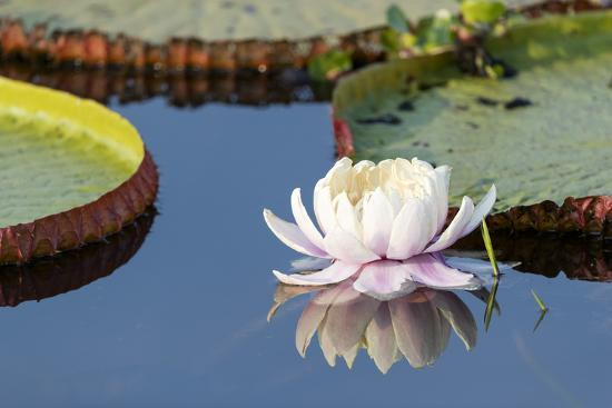 Brazil, The Pantanal, flower of the giant lily pad.-Ellen Goff-Premium Photographic Print