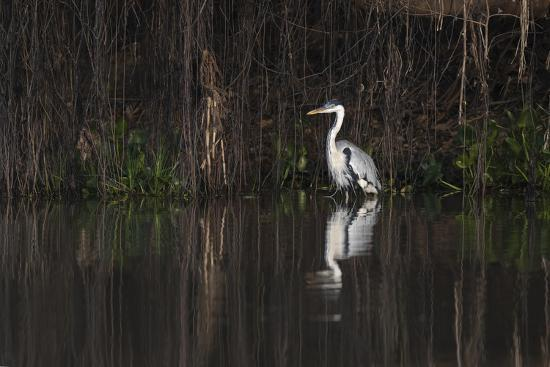 Brazil, The Pantanal. Portrait of a cocoi heron standing in the water among the vines.-Ellen Goff-Premium Photographic Print