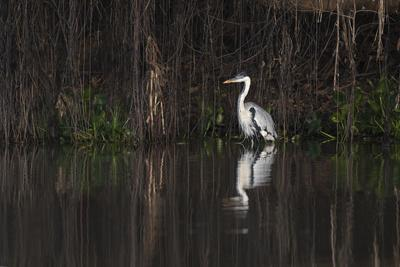 https://imgc.artprintimages.com/img/print/brazil-the-pantanal-portrait-of-a-cocoi-heron-standing-in-the-water-among-the-vines_u-l-q1cza710.jpg?p=0