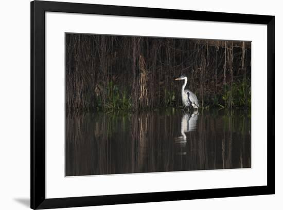 Brazil, The Pantanal. Portrait of a cocoi heron standing in the water among the vines.-Ellen Goff-Framed Premium Photographic Print