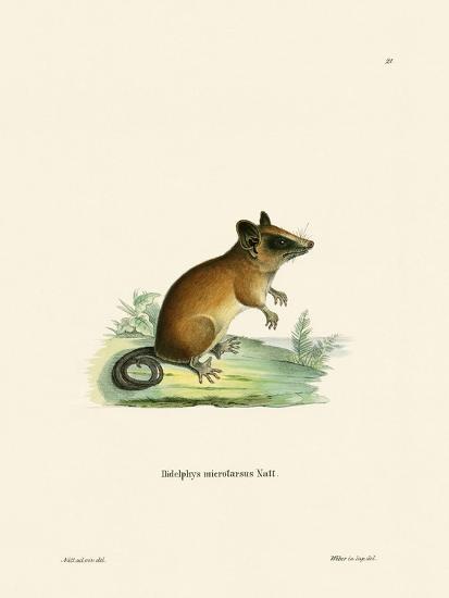 Brazilian Gracile Mouse Opossum--Giclee Print
