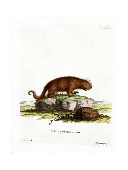 Brazilian Porcupine--Giclee Print