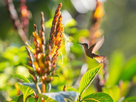Brazilian Ruby Hummingbird, Clytolaema Rubricauda, Mid Flight Feeding from a Flower-Alex Saberi-Photographic Print