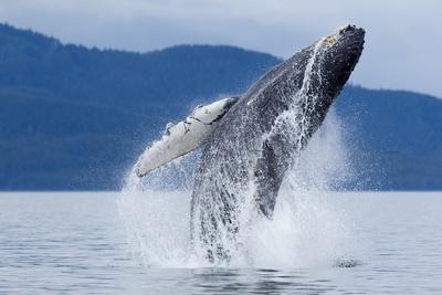 https://imgc.artprintimages.com/img/print/breaching-humpback-whale-alaska_u-l-pzn96y0.jpg?p=0