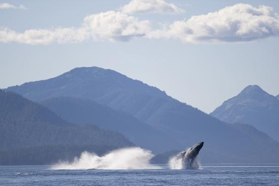 Breaching Humpback Whale in Chatham Strait--Photographic Print