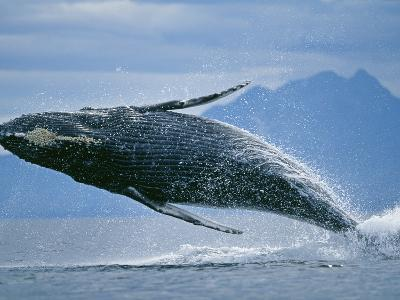 Breaching Humpback Whale-Paul Souders-Photographic Print