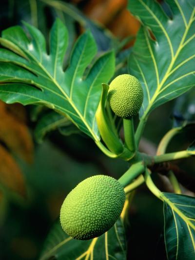 Breadfruit tree on Jamaica-Rainer Hackenberg-Photographic Print