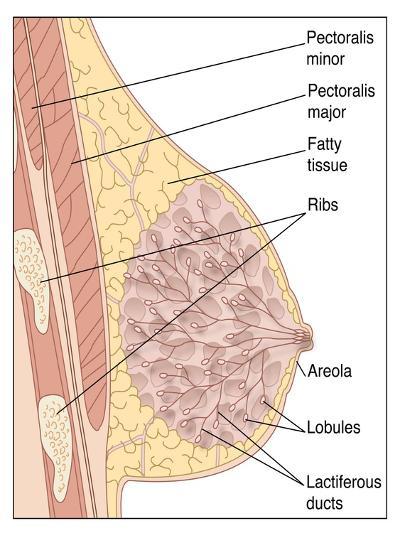 Breast Anatomy, Artwork-Peter Gardiner-Photographic Print