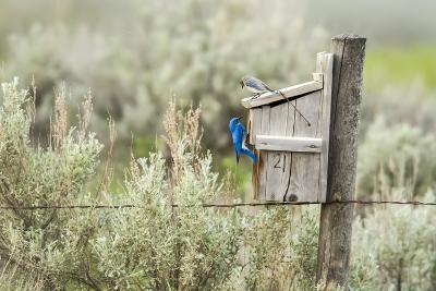 Breeding Pair of Mountain Bluebirds, Mission Valley, Montana, Usa-Chuck Haney-Photographic Print