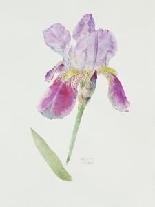 Bearded Iris, C.1980 by Brenda Moore