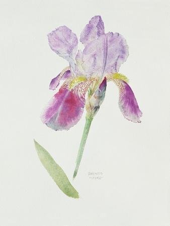 Bearded Iris, C.1980