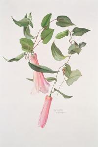 Lapageria Rosea, C.1986 by Brenda Moore