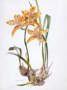 Orchid Cymbidium Pearlite, C.1980 by Brenda Moore