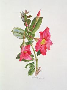 Passiflora Princess Eugenia, C.1980 by Brenda Moore