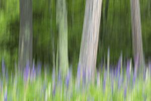 Abstract artistic blur of trees and lupine blossoms. USA, Wisconsin. by Brenda Tharp