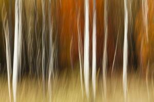 Abstract impression of birch trees in Autumn foliage, Wisconsin. by Brenda Tharp