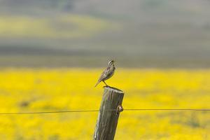 California. A Western Meadowlark, Sturnella neglecta, sings his song atop a fencepost in the Carriz by Brenda Tharp