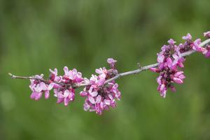 California. A western redbud tree, bursts with blossoms in the sierra foothills. by Brenda Tharp