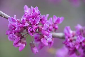 California. A Western redbud tree, Cercis occidentalis, blooms in early spring. by Brenda Tharp