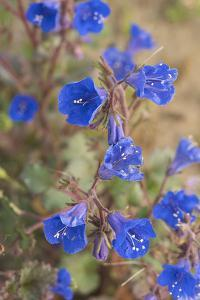 California. Bright blue Phacelia blooms in the dry areas of the Sierra Foothills. by Brenda Tharp