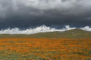 California Poppies bloom beneath stormy clouds in Antelope Valley Poppy Reserve, Lancaster, Califor by Brenda Tharp