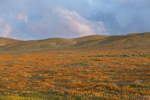 California Poppies bloom in meadows at Antelope Valley Poppy Reserve, Lancaster, California. by Brenda Tharp