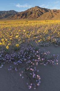 California. Sand verbena and desert sunflowers carpet the alluvial fans and the washes of Death Val by Brenda Tharp