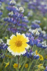California. Tidy tip flower stands out in a group of Sky Lupine in a meadow in the sierra foothills by Brenda Tharp