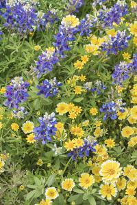 California. Tidy tip flowers, goldfields, Lasthenia californica, and lupine bloom in the meadows of by Brenda Tharp