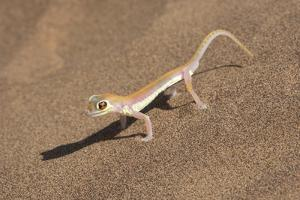 Colorful Web-footed or Palmatogecko gecko by Brenda Tharp