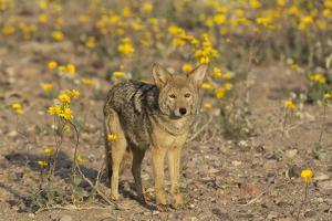 Coyote stands in the midst of yellow desert sunflowers in Death Valley, California, during the supe by Brenda Tharp