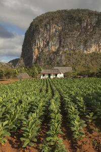 Cuba, Vinales. a Field of Tobacco Ready for Harvesting on a Farm in the Valley by Brenda Tharp