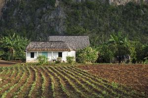 Cuba, Vinales. a Harvested Field of Tobacco in Front of a Farmhouse by Brenda Tharp