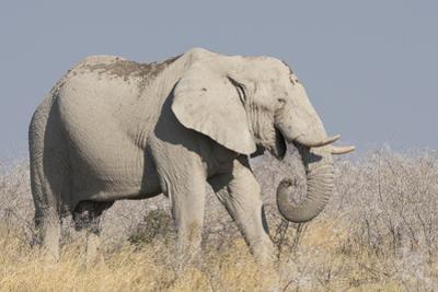 Elephant eats acacia bushes in Etosha National Park. by Brenda Tharp