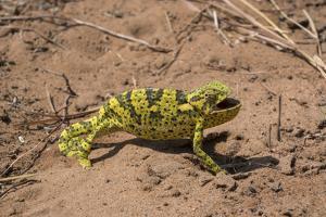 Flap-necked chameleon in Botswana, Africa. by Brenda Tharp
