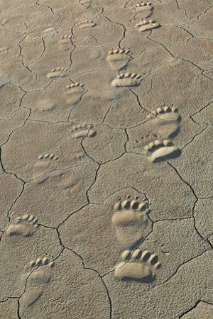 Footprints of and cub coastal grizzly bears in Lake Clark National Park, Alaska. by Brenda Tharp