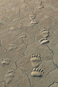 Footprints of and cub coastal grizzly bears in Lake Clark National Park, Alaska. by Brenda Tharp